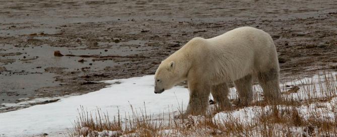 Oso polar en Canadá