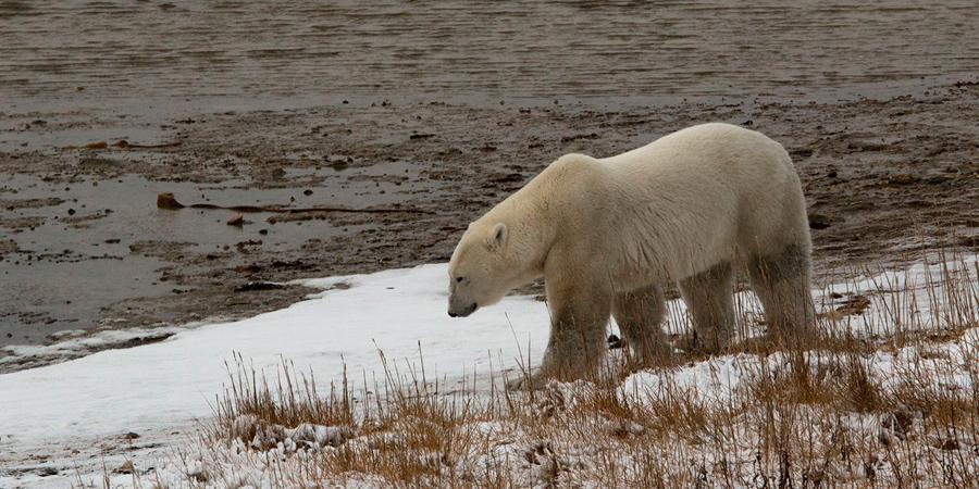 Canadá – Churchill, territorio de osos polares